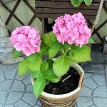 ようやく咲いてくれた紫陽花☆